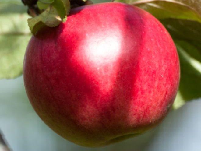 Õun Kovalenkovskoje