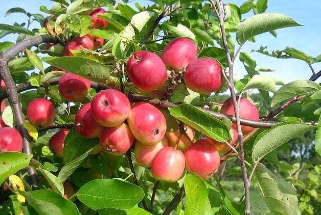 Õun Kuku
