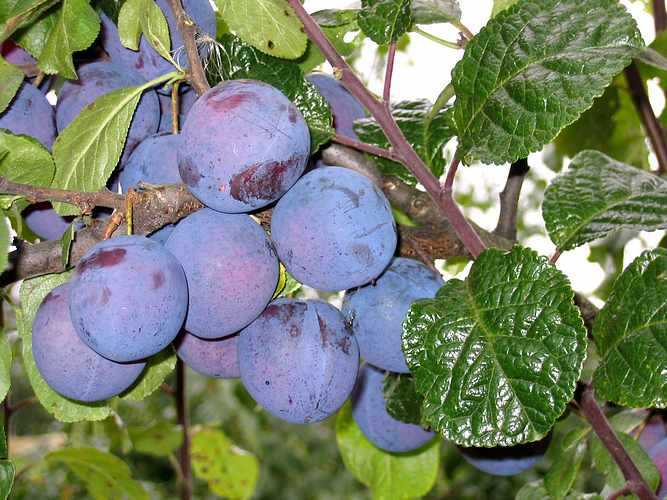 Ploomipuu Prunus Perdrigon