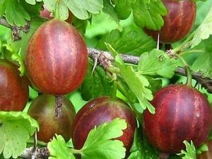 Karusmari Ribes uva-cripa sün Grossularia 'Aristokrat'