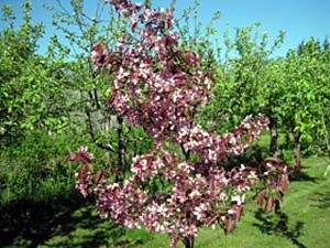 Õunapuu Malus ,Prof. August Vaga'