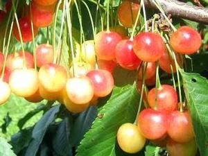 Magus kirsipuu Cerasus avium sün Prunus avium 'Polli murel'