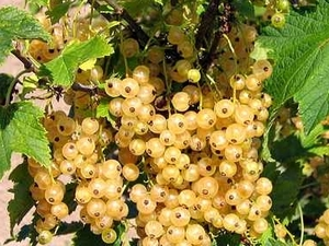 Valge sõstar Ribes rubrum 'Jüterbogi valge'