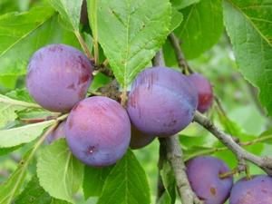 Ploomipuu Prunus 'Polli varane'