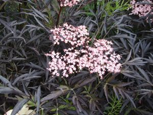 Must leeder Sambucus nigra 'Black Lace'