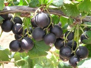 Karussõstar Ribes x culverwelli 'Josta'