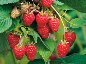 Harilik vaarikas Rubus idaeus 'Tulameen'
