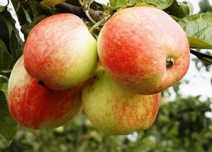 Õunapuu Malus domestica 'Korta'