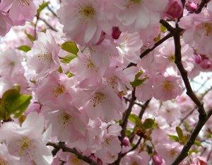 Ilukirsipuu Prunus sargentii 'Accolade'