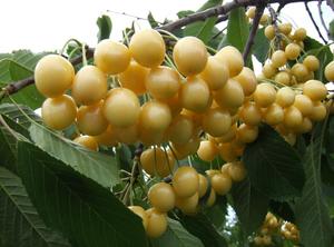 Magus kirsipuu Cerasus avium sün Prunus avium 'Iedzēnu Dzeltenais'