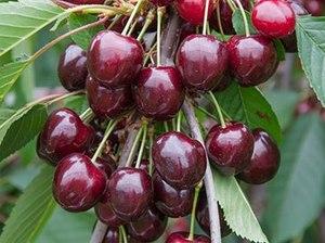 Magus kirsipuu Cerasus avium sün Prunus avium 'Stella'