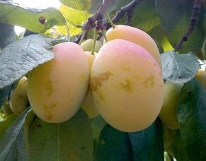 Ploomipuu Prunus 'Ance'