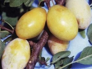 Ploomipuu Prunus 'Lāse'