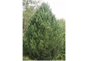 Alpi seedermänd Pinus cembra