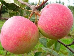 Õunapuu Malus domestiga 'Grushovka Moskovskaja'