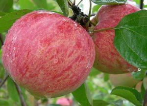 Õunapuu Malus domestica 'Korichnoe polosatoe'