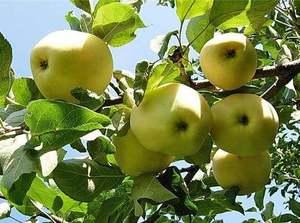 Õunapuu Malus domestica 'Limonka'