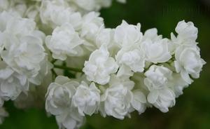 Harilik sirel Syringa vulgaris 'Pamjat' o Kolesnikove'