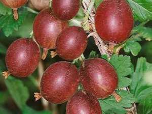 Karusmari Ribes uva-crispa 'Redeva'