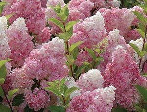 Aedhortensia Hydrangea paniculata 'Vanille fraise'