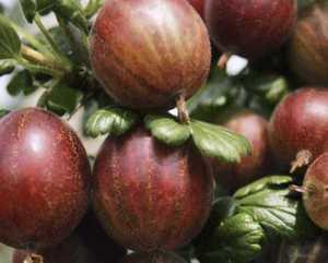 Karusmari Ribes uva-crispa 'Rokula'
