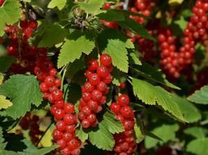 Punane sõstar Ribes rubrum 'Rote Spätlese'