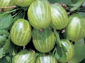 Karusmari Ribes uva-crispa 'Karlin'