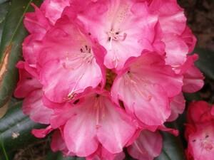 Rododendron Rhododendron 'Fantastica'