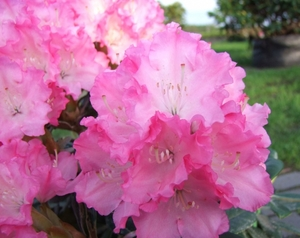 Rododendron Rhododendron 'Wladyslaw Lokietek / Royal rosy'