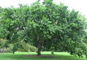 Mandžuuria pähklipuu Juglans mandshurica