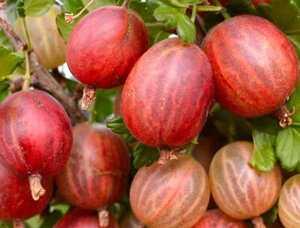 Karusmari Ribes uva-crispa 'Xenia'