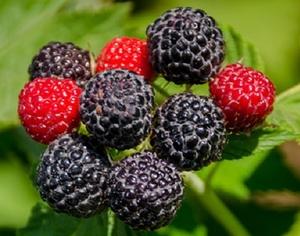 Läänevaarikas Rubus occidetalis 'Black Jewel'