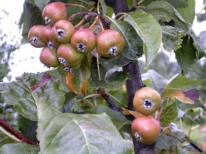 Pirnipuu Pyrus toesemoodustajal