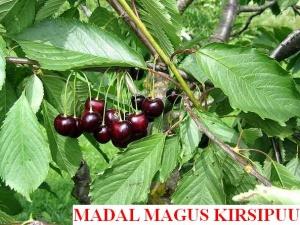 Magus kirsipuu Cerasus avium sün Prunus avium madal