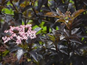 Must leeder Sambucus nigra 'Black Beauty'