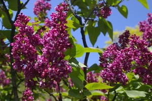 Harilik sirel Syringa vulgaris 'Arthur William Paul'