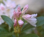 Rododendron 'Cunningham White'