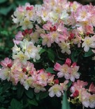 Rododendron 'Percy Wiseman'
