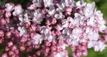 Harilik sirel Syringa vulgaris 'Belle de Nancy'