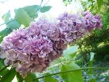 Harilik sirel Syringa vulgaris 'Katherine Havemeyer'